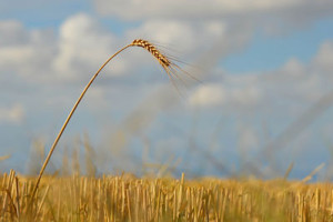 A single stalk of wheat stands where others have fallen.